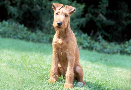 The Irish Terrier is a smart, quick dog that quickly adapts to new situations. He'll guard his home and family members with determination and pluck. This breed is great with children when raised with them and is deeply loyal to his owner. Pups require firm boundaries so they will grow into respectful adults.