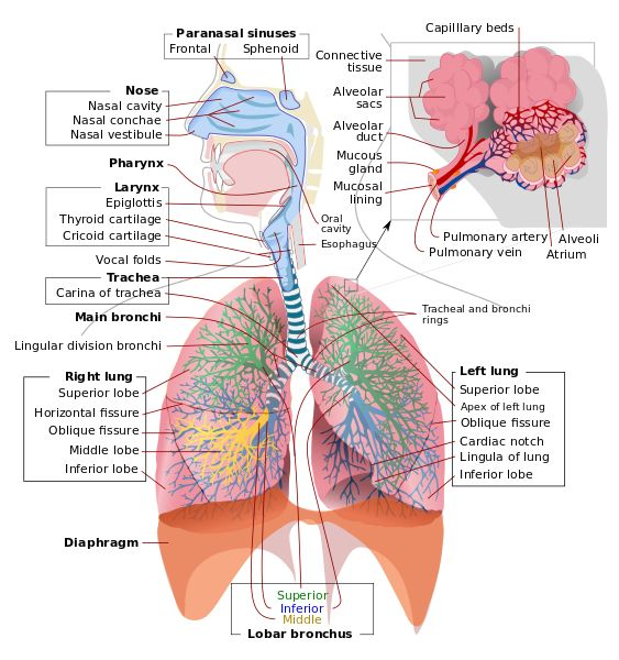 7 besten Respiratory System Project Bilder auf Pinterest | Lunge ...
