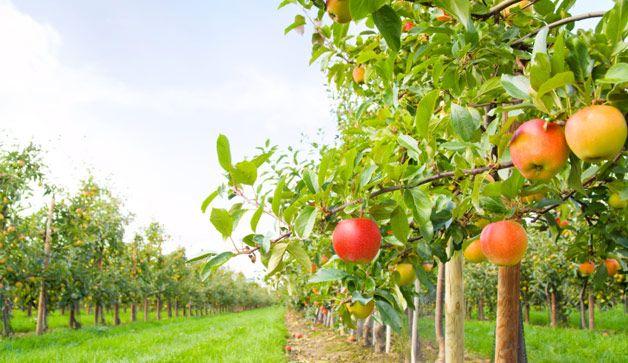 Apple Picking Season is Here, Katherine Barnett, Milton Real Estate Agent, Broker