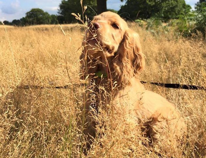 Cocker spaniel Rudi crowned UK's cutest pub dog