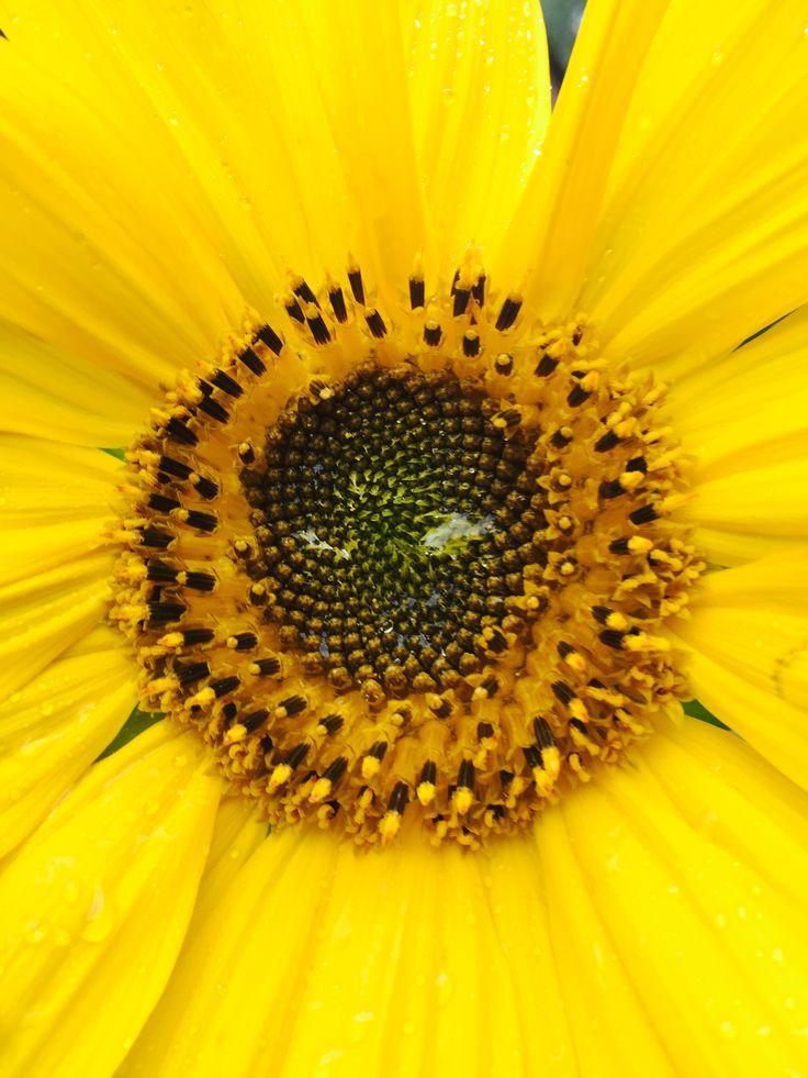 Sunflower from my garden ❤️