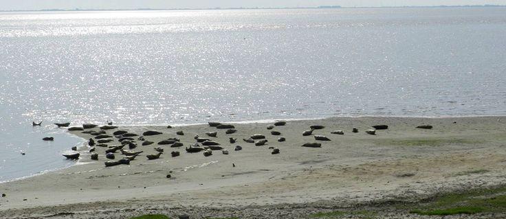 Het Eems-Dollard gebied is een grote inham van de Waddenzee in de Groningse kust. 's Zomers kun je hier prachtige plaatjes zien, dan kruipen Gewone zeehondenmoeders aan land om hun jong te werpen en het vervolgens te zogen.