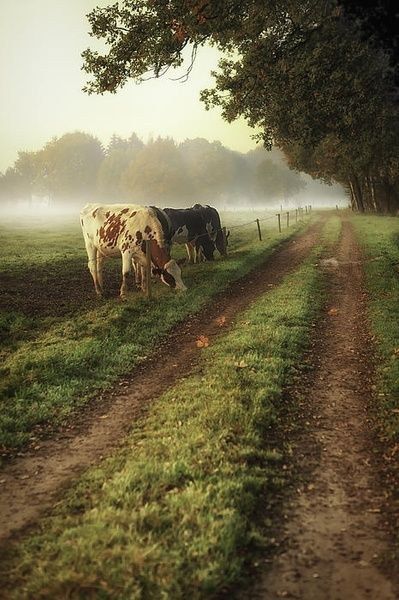 Dirt road, & grazing cows... - (country living, farmstead, rural)