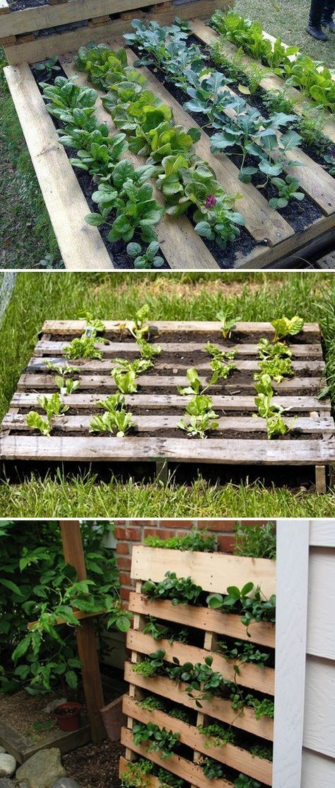 Got Pallets? Hate weeding? Don't feel like turning up a bunch of grass? Use a pallet as a garden bed - staple garden cloth on the backside of the pallet fill with dirt and start growing!