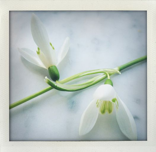 Together (galanthus nivalis).