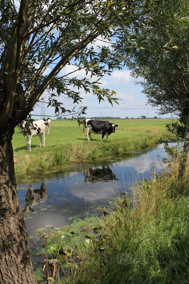 Koeien langs de Tiendweg, Oud-Alblas (Foto: Thea Plugge; juli 2015)