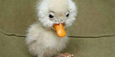 cute ugly duckling