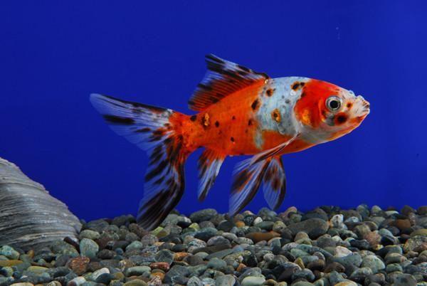 Shubunkin | AquariumFishSale.com - Live Tropical Fish for Sale!