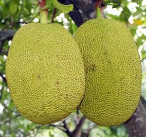 Jackfruit nutrition facts and health benefits. https://www.budonation.com/nutrition-fact/86/jackfruit-nutrition-facts-and-health-benefits