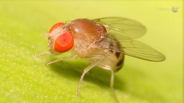 DivaDeaWeag | ¿Para qué la NASA necesita moscas en el espacio?.:La NASA enviarà al espacio un conjunto de moscas de la fruta para crear mùltiples generaciones de estos insectos a bordo de la Estaciòn Espacial Internacional (EEI)