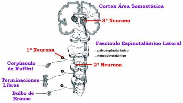Vía Consciente (1/3) relativa a dolor somatico y temperatura