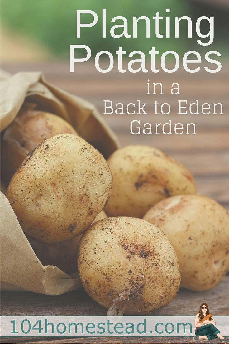 Weeds in flower beds with potato like roots - Planting Potatoes Back To Eden Style