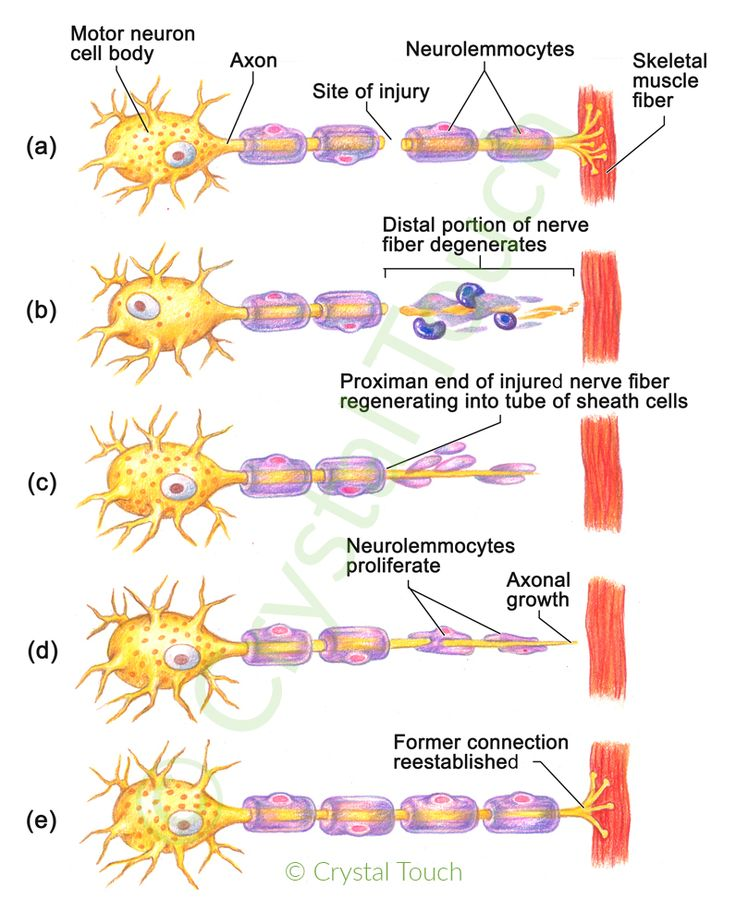 Facial Nerve Regeneration 75