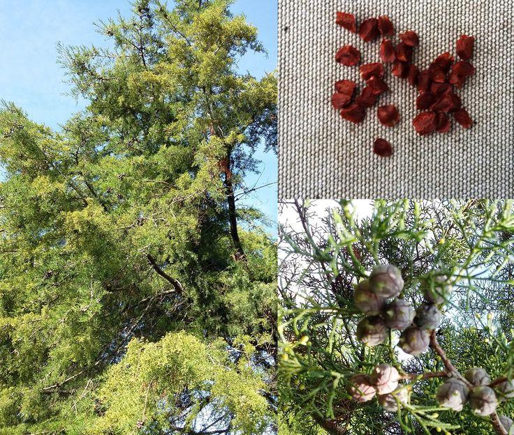 PRODUTO DO MÊS!!   Aproveite os últimos dias de Março! Neste mês, as Sementes de Cedro-de-Portugal (Cupressus lusitanica) são o produto do mês, e por isso estão estar com 20% de DESCONTO até 31/03/2017!!  Cada unidade (pacote de 20 sementes) fica em 0,96€ (já com o desconto).  Aproveite!   >> Mais informações no nosso website (link na bio).   #biokafs_agro #sementesdesedrodeportugal #cedrodeportugal #cedrodobuçaco #cedro #cipreste #Portugal #sementes #arvores #arvoresdefloresta #floresta