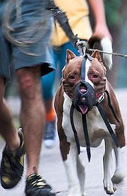Read about the history and breed-specific legislation - Pit bull - Wikipedia, the free encyclopedia