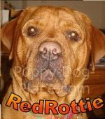 The Red Rottweiler & Other 'Rare Rottweilers