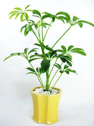 Caring for your Hawaiian Umbrella Schefflera Tree - Ceramic Pot and Pebbles