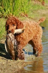 What poodles were bred to do originally and what many of them still do