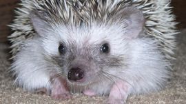 Watch Hedgehog Cam on Animal Planet LIVE, the web's top destination for Animal Planet programming and live animal cameras.