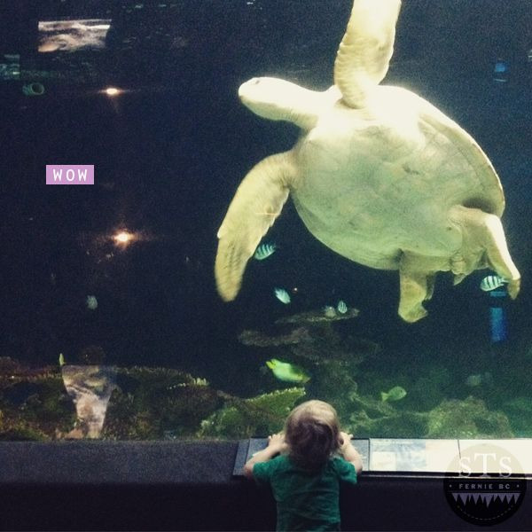 explore bc - sea turtle at vancouver aquarium