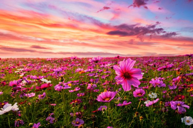 Beautiful And Amazing Of Cosmos Flower Field Landscape In Sunset Nature Wallpaper Background Cosmos Flowers Flower Field Pink Flowers Background