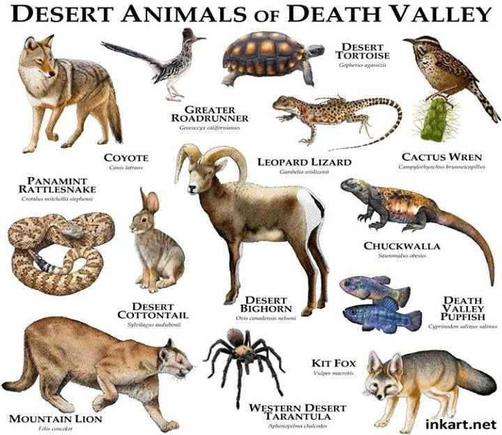 Desert Animals of Death Valley.....ROGER D HALL.....a scientific illustrator specializing in wildlife and architectural subjects....predominantly self-taught....works with pen and ink....artwork has appeared in numerous media (newspaper, books, website, etc)....a Minnesota native now based in Oakland, California....associated with several zoos and aquariums in the US