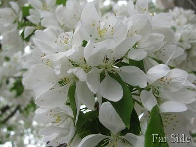 The Bennett Tree Spring Snow Crabapple - insanely fragrant, no fruit.