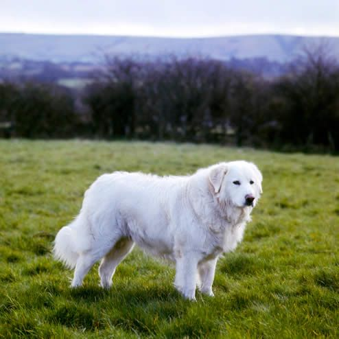 Maremma Sheepdog.... great guard dog for alpacas