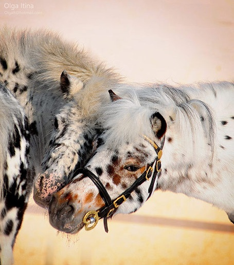 25 Beautiful Horse Pictures | Horses | Scoop.itCookies Dough, Appaloosa Horses, Polka Dots, Beautiful Hors, Hors Pictures, Horses Photography, Horses Pictures, Hors Photography, Animal
