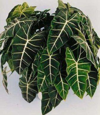 Alocasia Sanderiana o Alocasia Amazónica
