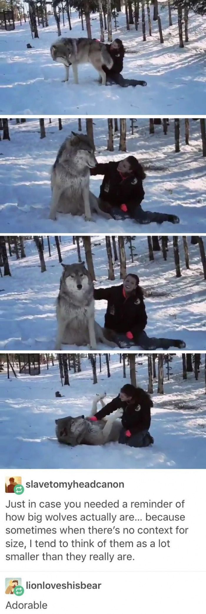 Wow. Wolves are huge! Also, where can I get one to cuddle with like that?