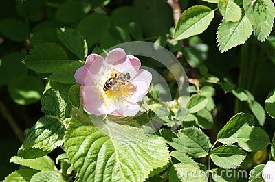 Honeybee harvesting pollen from flower rosehip