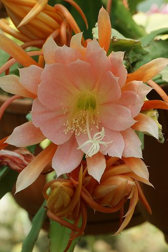 Epiphyllum Maryla Cornu