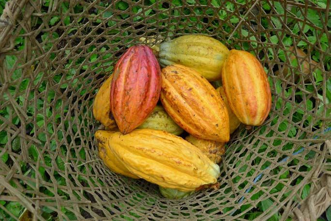 Ripe Cacoa Pods in a Basket | Medicine Hunter    During harvest season ripe cacao pods are placed in baskets after being cut from trees. These pods show the colorful origins of what we know and love as chocolate.