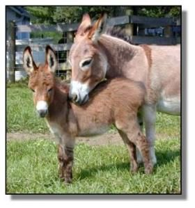 ♥ ~ ♥ Donkeys ♥ ~ ♥ Miniature donkeys are easy to raise! - They live 35-40 years, so be sure you are ready.