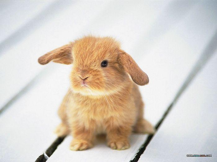 Lapin nain bélier / Mini lop rabbit