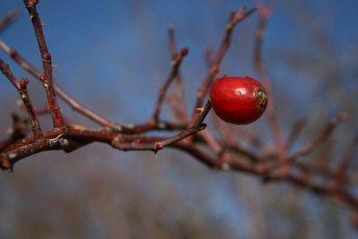 Andar per piante selvatiche: Rosa canina, un pieno di vitamina C