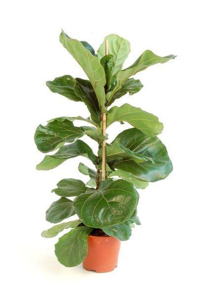 De oersoort onder de kamerplanten: deze plant is heel sterk, verdraagt gemakkelijk koude temperaturen en heeft heel weinig licht nodig. De rubberplant verwijdert formaldehyde uit de lucht – maar dat ze ook wekenlange afwezigheden overleeft, blijft het ultieme pluspunt.