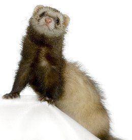 Ferrets Pet Care Information