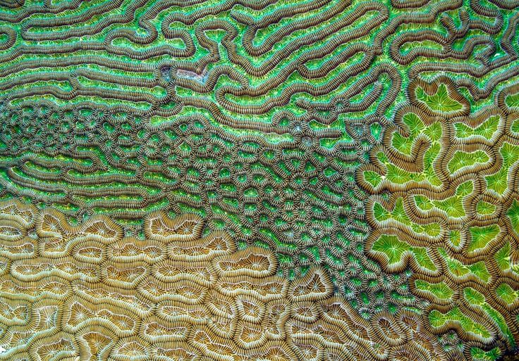 Caribbean brain coral, by Evan D'Alessandro, USA. Royal Society Publishing photography competition 2015.