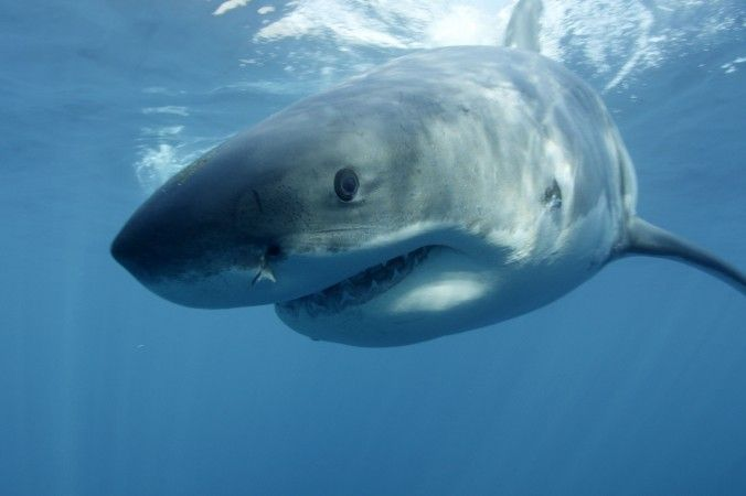 Shark Week 2013: 'Return of Jaws' and 'Voodoo Shark' on Monday Night