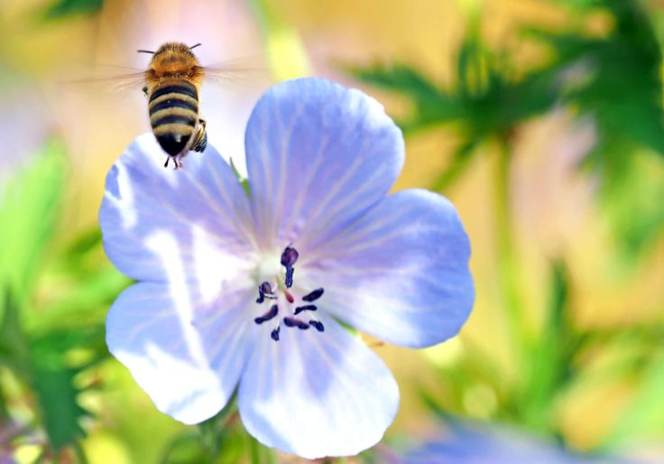 #always #animal #bee #bee deaths #bloom #blossom #close #cranesbill #environmental protection #flight #fly #geranium #geranium pratense #insect #luise #macro #nature #nature conservation #nature documentary #nature