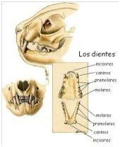 El cuidado dental de nuestras mascotas: La dentadura del gato. http://www.bypets.com/b-el-cuidado-dental-de-nuestras-mascotas.