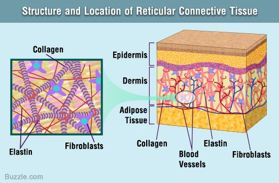 Reticular Connective Tissue