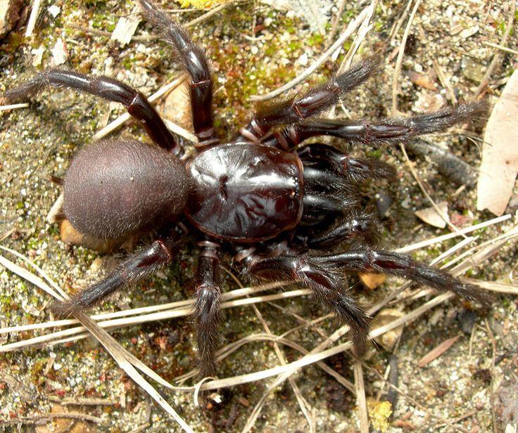 L'araignée Atrax Robustus _ Australie _ Elle fait partie des 5 araignées les plus dangereuses au monde. Très agressive, son venin est hautement toxique. Un anti venin a été développé mais doit être administré dans l'heure qui suit la morsure.