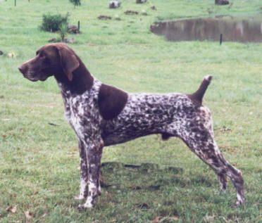 Resultado de imágenes de Google para http://www.comportamientoanimal.com/imagenes/razas_perro/razas_ppal_braco_braco.jpg