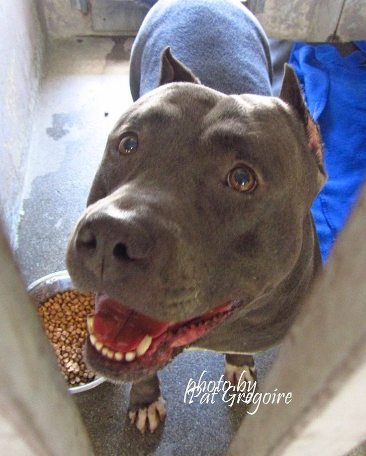 GONE — A4873530 I am a friendly male blue/white pit bull mix. I came to the sh…