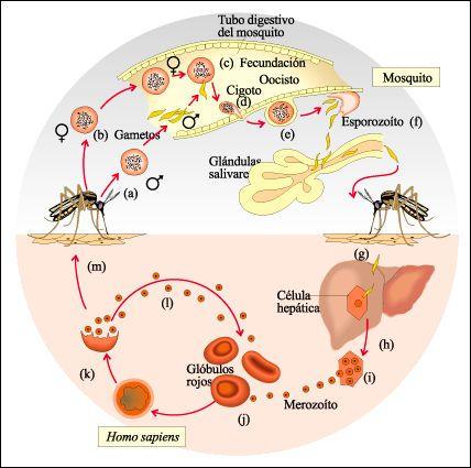 ciclos de vida - malária