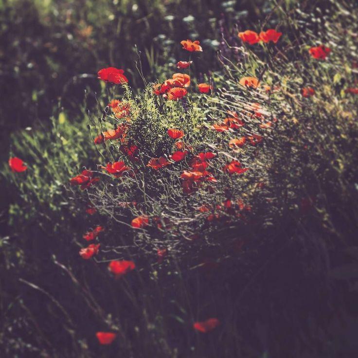 Wild poppies #alba #romania #country #wild #poppy #moody #flower #flowerstagram #floral #цветы #flores #instaflower #botanical #instaflowers #rsa_nature