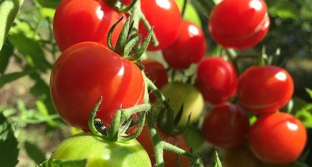Pestovanie paradajok - Ako pestovať paradajky?
